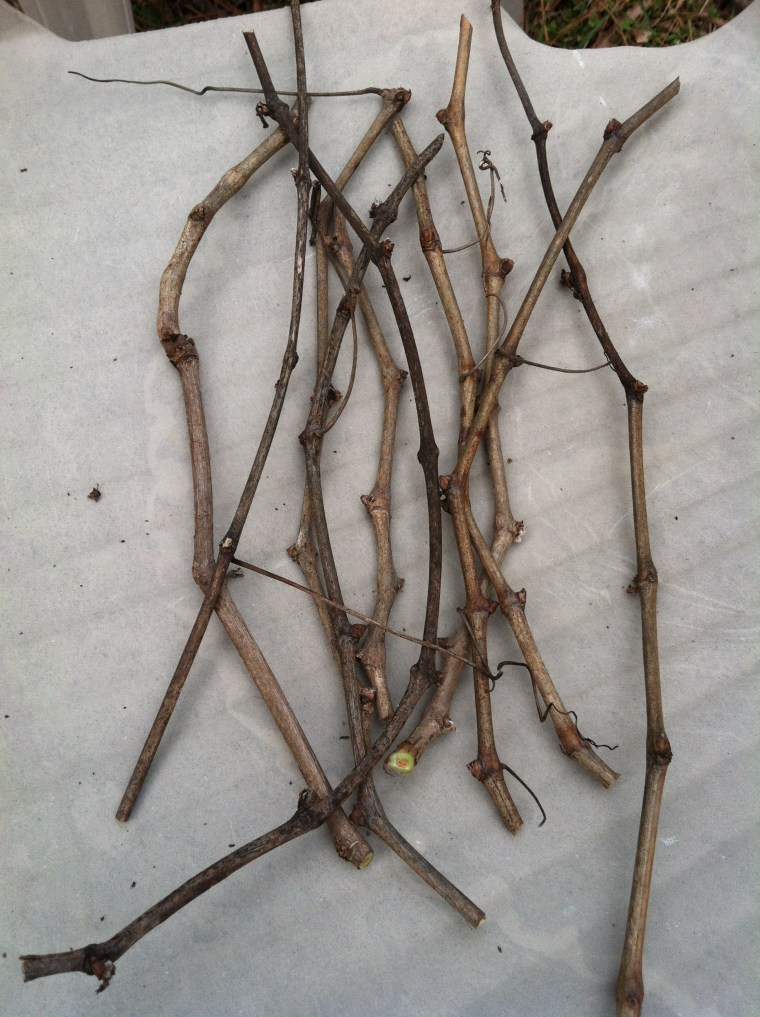 Propagating Grapevines From Pruned Cuttings