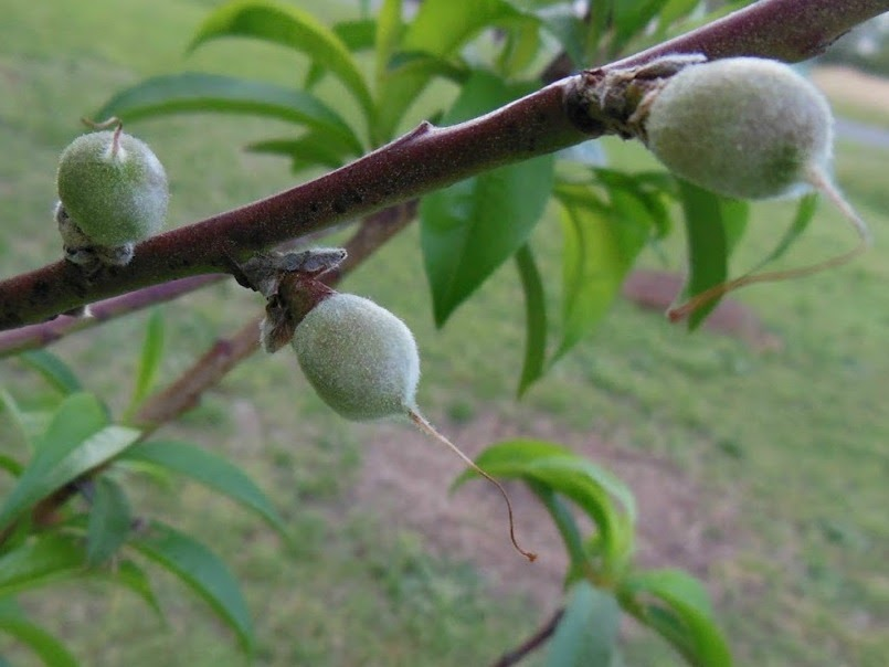 Peach Trees First Fruit - Remove or Not Remove?