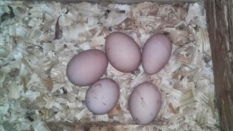 Eggs in the Nesting Box