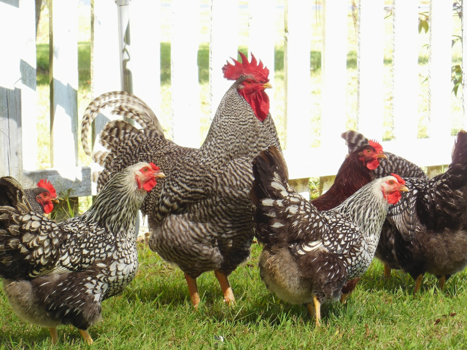 Barred Rock Rooster And Silver Laced Wynnadotte Hens