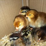 One Day Old Easter Egger And Production Red Baby Chicks