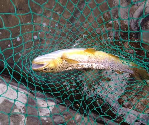 Spring is always a good time to catch Brown Trout. Photo by Riley Howard.