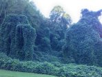 Crazy ivy
