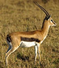 150px-Thomsons-gazelle