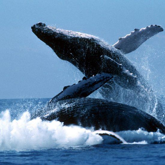Samana and Whales