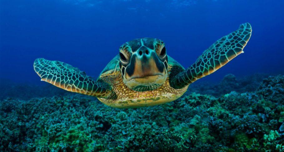 tortugas-marinas-machos-hembras