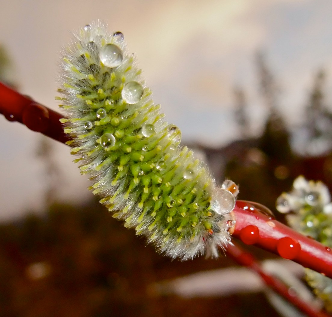 Catkin with droplet.