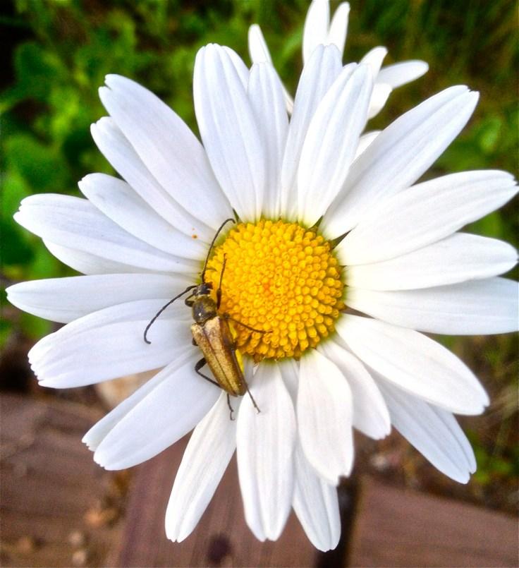 Golden beetle.