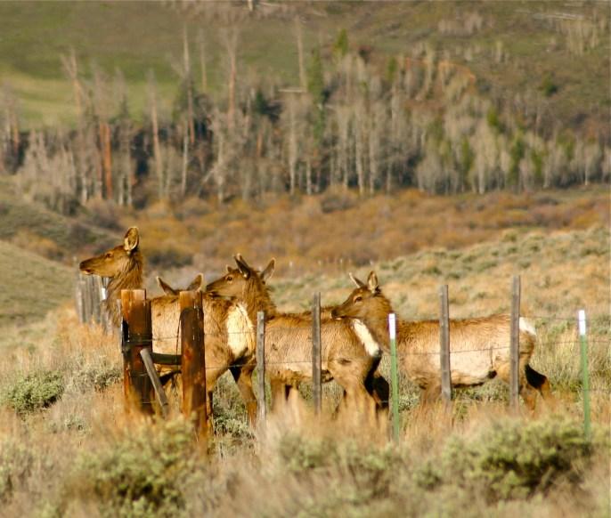 A herd of elk tests a fence line in the Williams Fork Range.