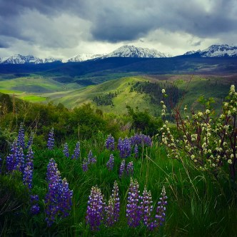 Lupines under storm clouds, Williams Fork Range, Colorado.