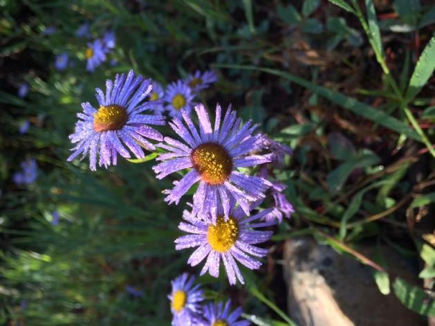 Asters in the morning dew.