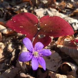 Early spring wildflowers in Thayatal National Park in Lower Austria.