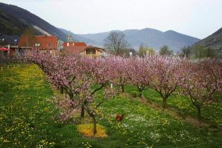 Apricot blossoms in the Wachau Austria world heritage region