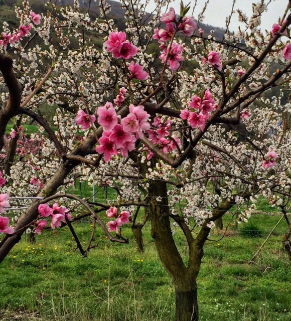 Fruit trees in bloom in the Wachau