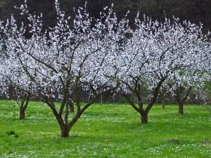 Wachau orchard.