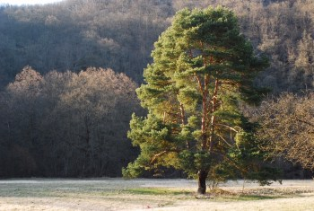 Lone pine along the Thaya River.