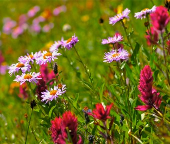 Alpine tundra blossoms plus pollinator in Colorado.