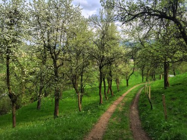 The verdant blush of spring in the orchard country of Lower Austria.