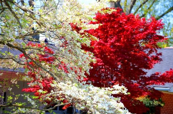 Dogwoods and Magnolias in full bloom in Charleston, Missouri