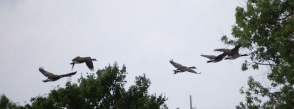 Geese take flight in Kentucky