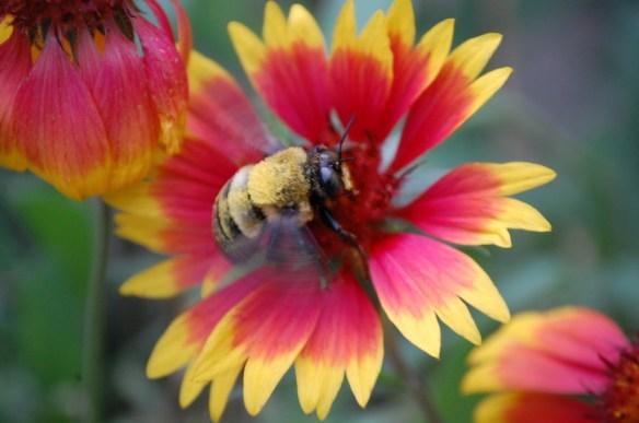 Bee in Flower taken in my back yard