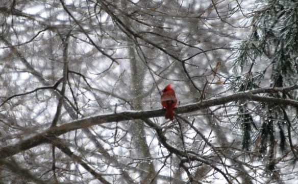 A male cardinal perches on ice covered branches