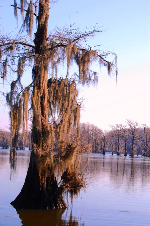 Cyprus in Caddo Lake as seen from Uncertain, Texas