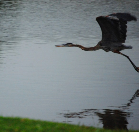 Blue Heron in Flight - Lexington, KY