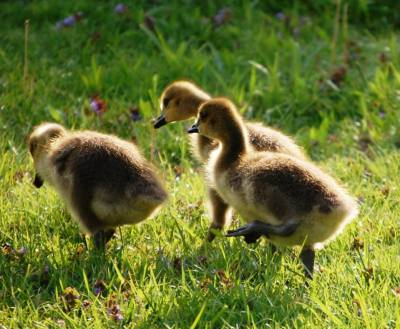 Young goslings in the morning sun