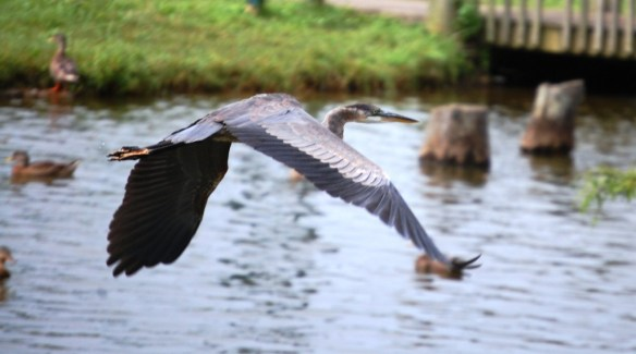 A blue heron in flight