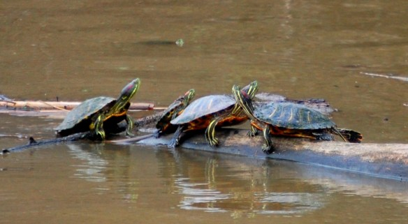 Turtle Family - Jacobson Lake, Lexingotn