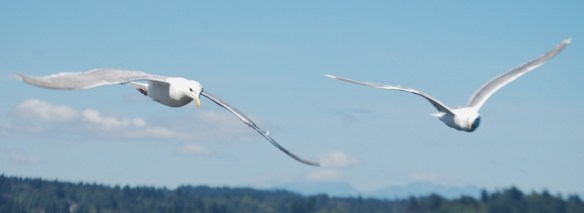 Seagulls in flight over Puget Sound in Washington