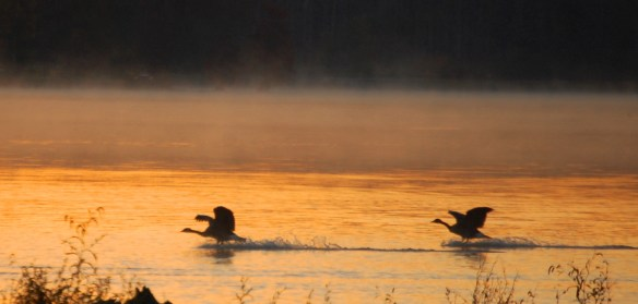 Geese landing in the water at sunrise
