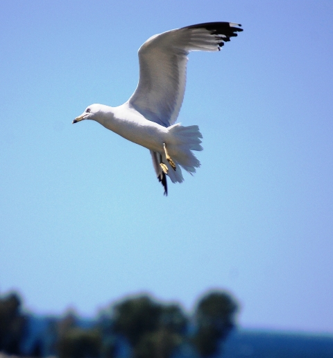 Seagull in flight over Egg Harbor, Wisconsin