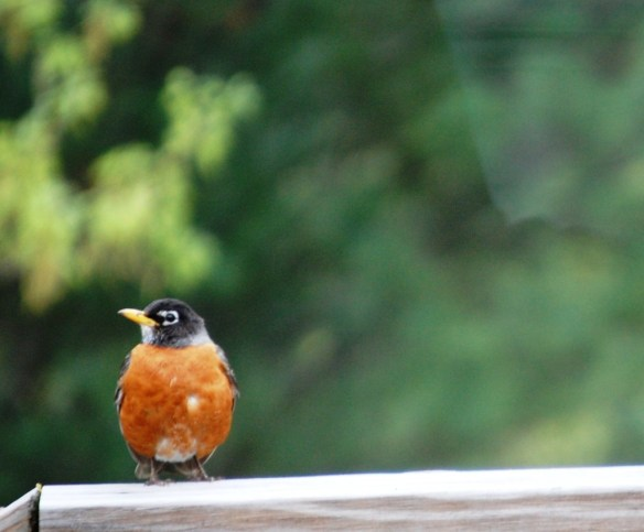 A robin perched on my back deck