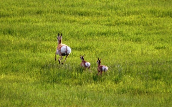 Antelope Family - A doe and her two calves scamper across grassland in central Colorado