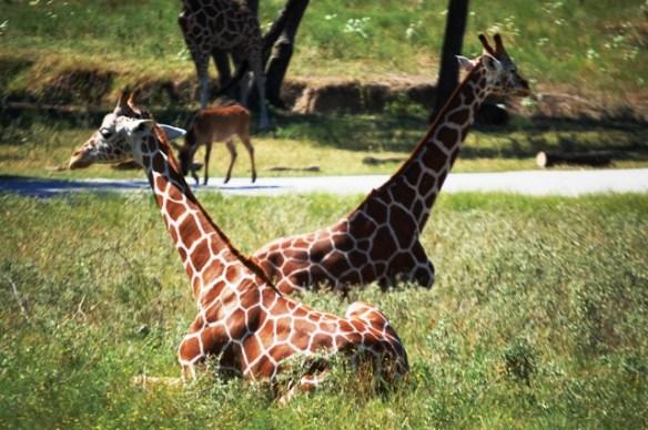 Giraffes relax
