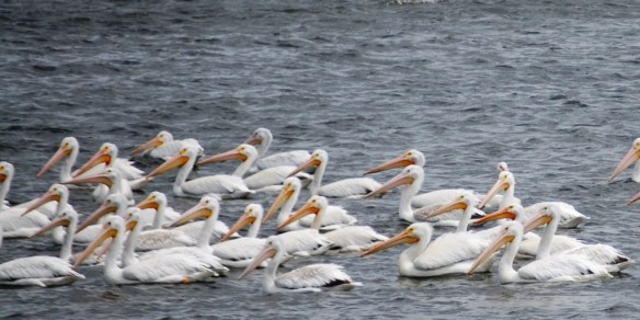 Pelicans on Lake Andes in South Dakota