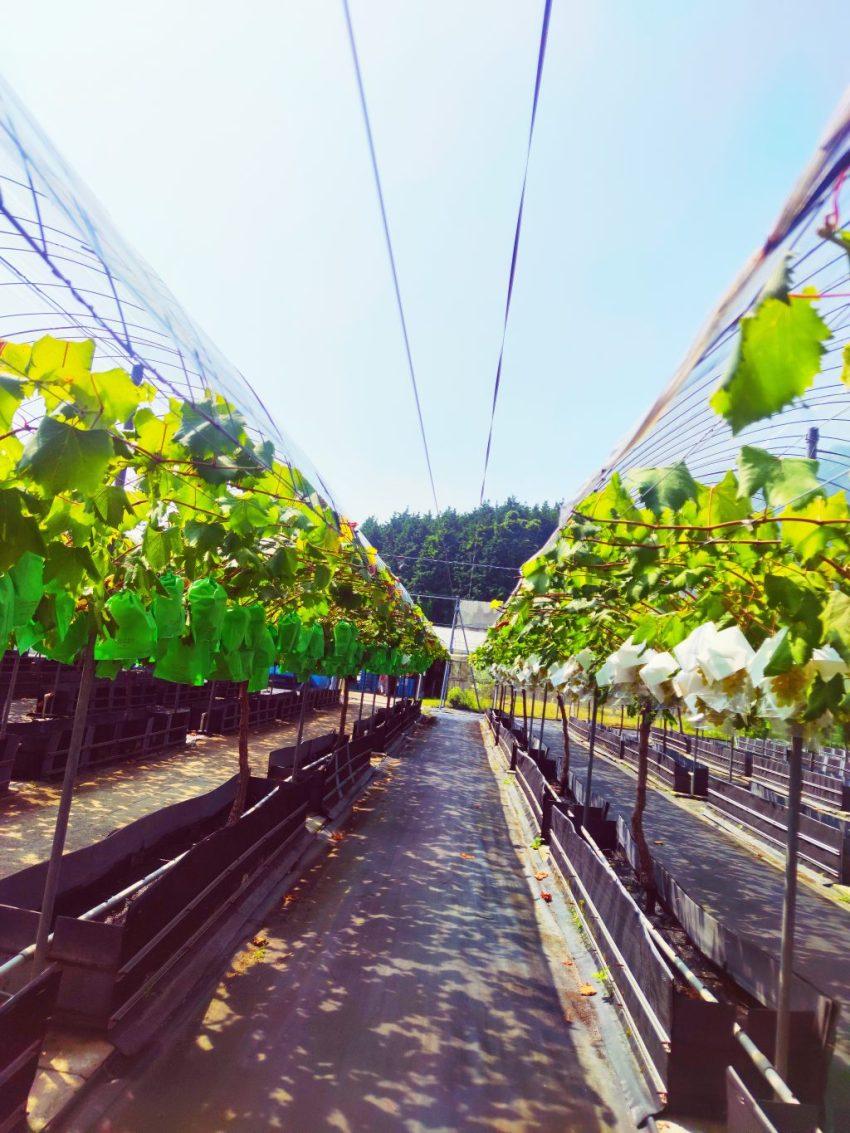 【安心院農園 歩くように】もぎたてのぶどうを収穫♪農園スイーツカフェもご紹介!(後編)