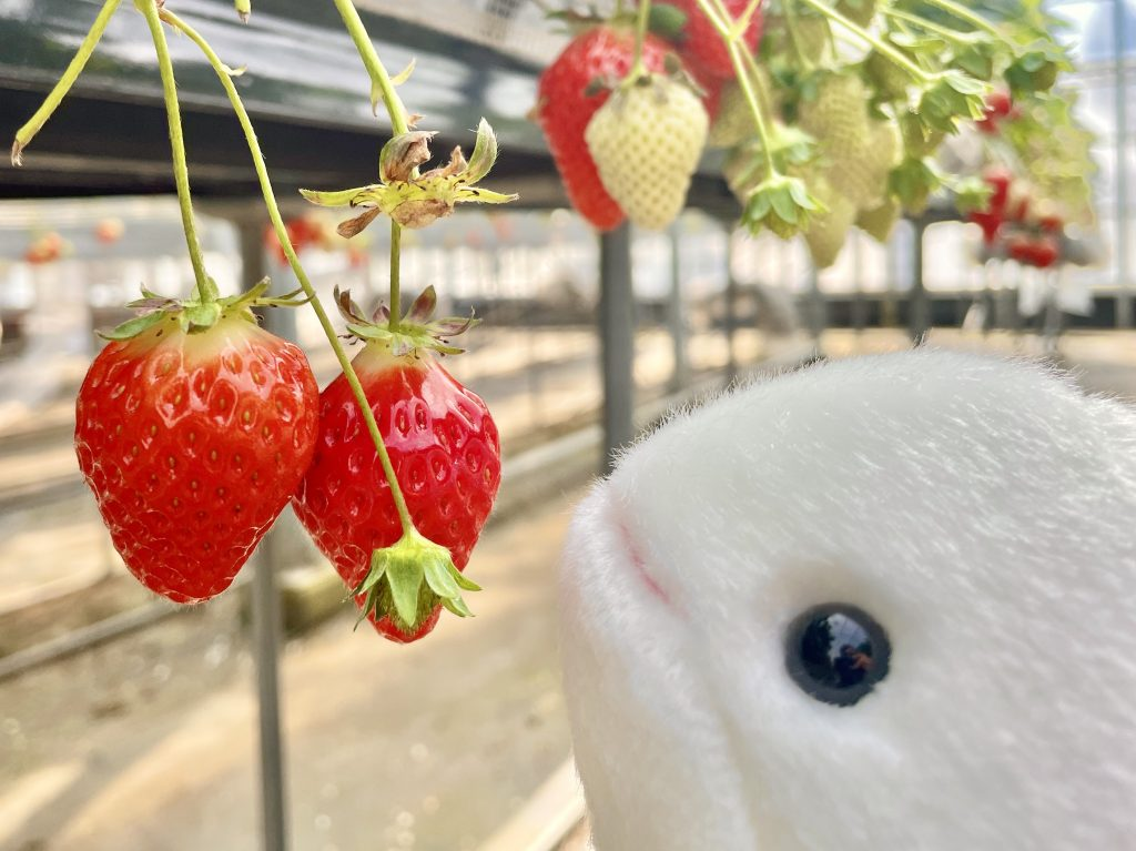 【宇佐市 アクトいちごファーム】宇佐の大人気イチゴ狩りスポット!新鮮イチゴ食べ放題コースが魅力🍓