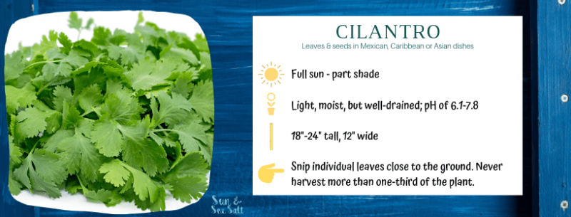 How to grow cilantro in an indoor herb garden