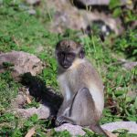 Nevis Monkey Rock Image Sundance Vacations 4