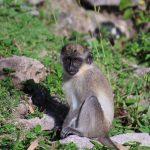 Nevis Monkey Rock Image Sundance Vacations 4