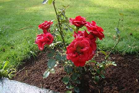 View from Sundara Mahal Garden The Red Hybrid Roses