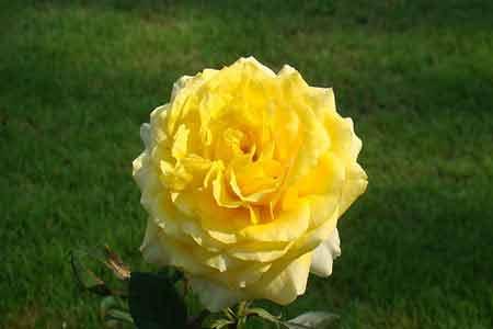 View from Sundara Mahal Garden The Yellow Hybrid Rose