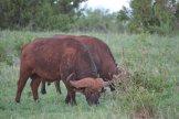 buffalos-tsavo-east