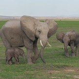 elephants-family-amboseli-national-park