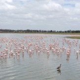 hundreds-of-flamingos-amboseli
