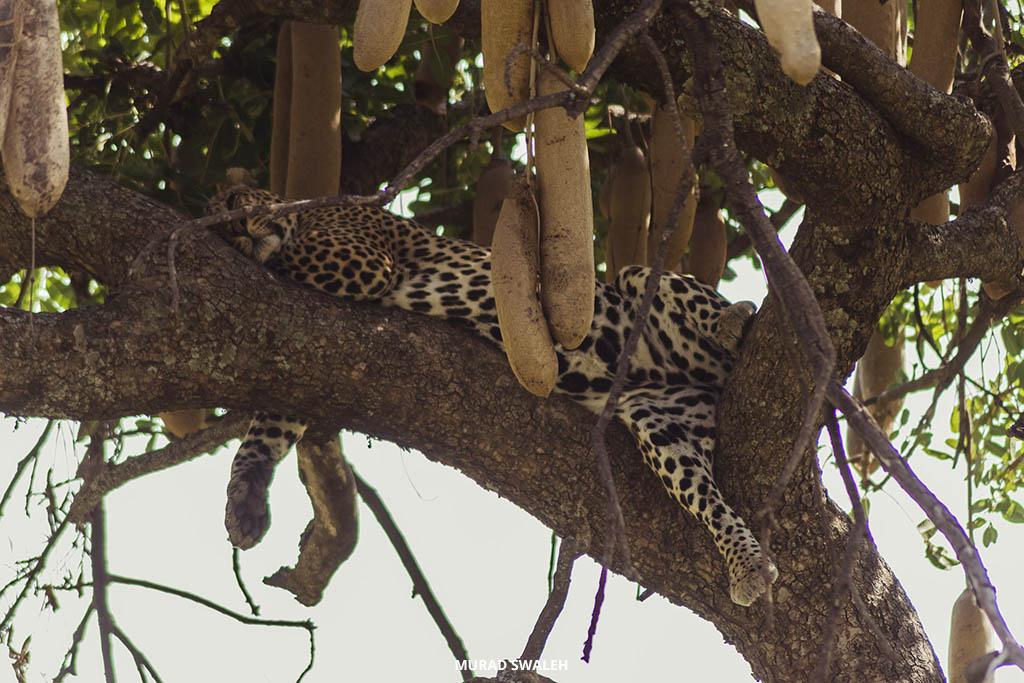 leopard-masai-mara-sunday-best-safaris-murad-swaleh
