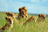 lion-pride-serengeti-tanzania-safari